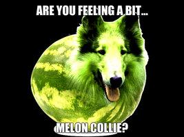 meloncollie